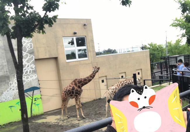 旭川市旭山動物園 きりん舎