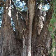 アメリカ大陸最大の木
