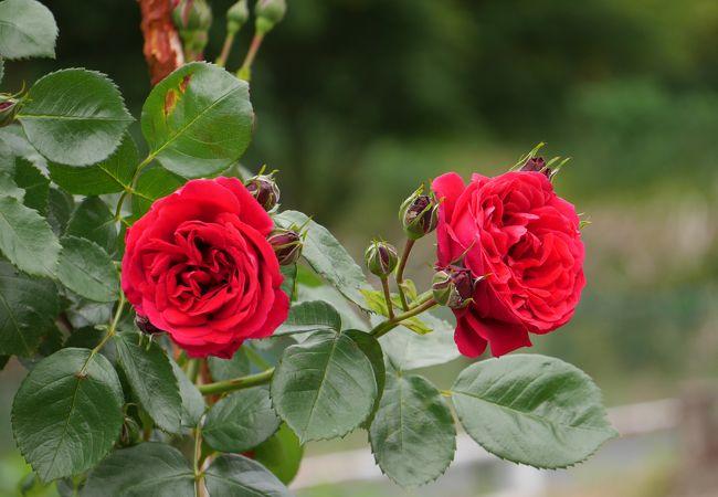 綺麗なバラが沢山