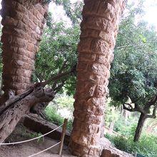 ガウディが保護したイナゴマメ老樹