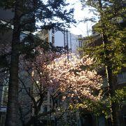 河津桜が開花