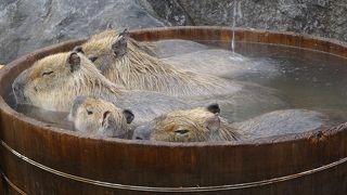 カピバラの露天風呂が可愛いです