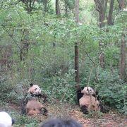 たくさんのパンダに会える