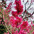 熱海梅園梅まつり