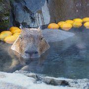 元祖温泉カビパラがいる動物園