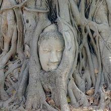 木に包まれた仏頭