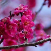 今が盛りの梅まつり 3月8日まで