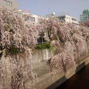 ソメイヨシノの花