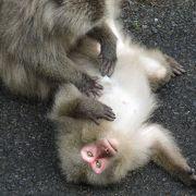 人間などまったく気にもしないお猿さん達。