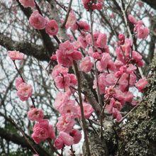 いろいろな梅が見られます。