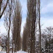 冬のポプラ並木も行く価値あり