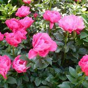 5月の連休はぼたん、シャクヤク、しゃくなげ、つつじが咲いています。