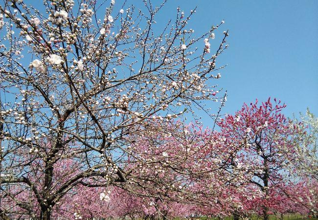 花桃の見頃