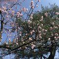 桜🌸ちらほら