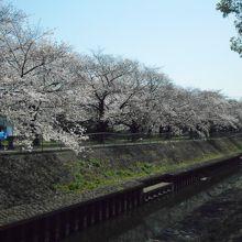 桜が大変綺麗に咲いていました。