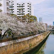 今年も白い桜が満開