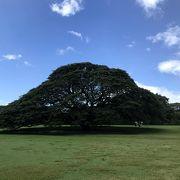 9回目のハワイで、初めての日立の木
