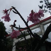 年明けに早咲きのサクラ