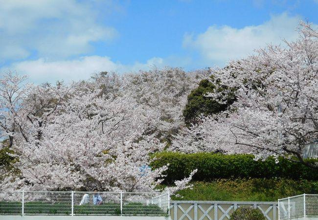桜が満開で海と空の青がきれいでした。