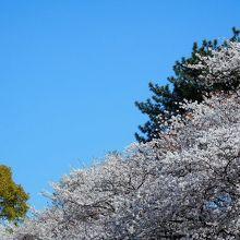 若山公園の下側から見た桜
