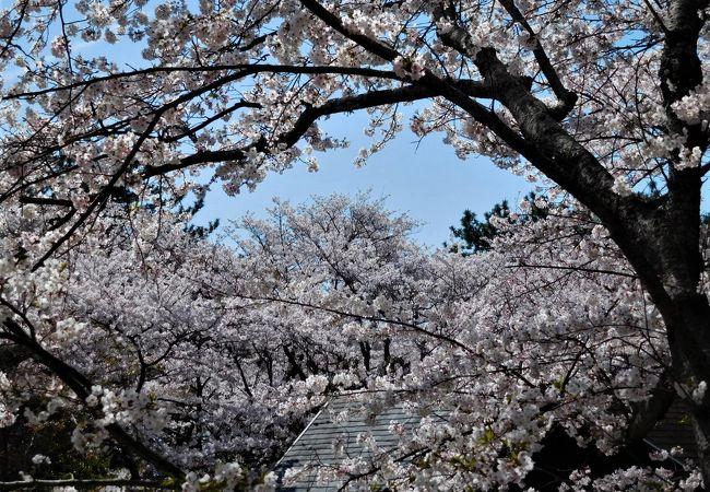 舞台の周りには桜が多いので見る場所ではピンク色に染まっていました。
