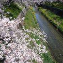 山崎川四季の道