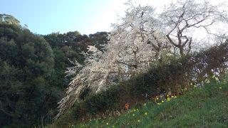 圧巻の一本桜