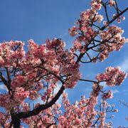 あたみ桜の想い出