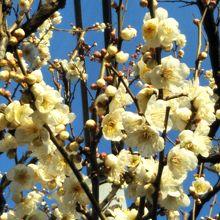 亀戸天神社の梅の花