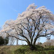 氏邦桜は、思った以上に大きかったです。