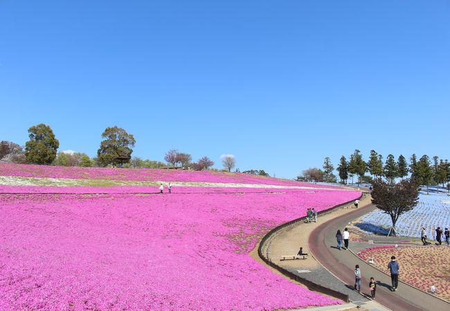 おおた八王子山公園芝桜 ポピーまつり