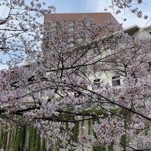 春にホテル付近を通ったとき、川の通りは桜並木となっていました