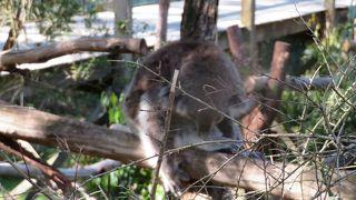 コンパクトにまとまった施設でコアラを見ることができます。