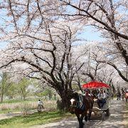 河川敷の桜並木は全国に多くありますが、やはりここは特別