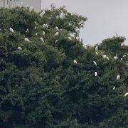 たくさんの白い鳥