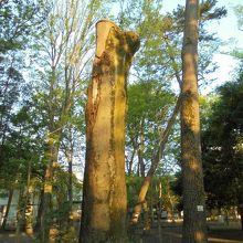 2019年の台風15号により枝が折れてしまったシラカシの木