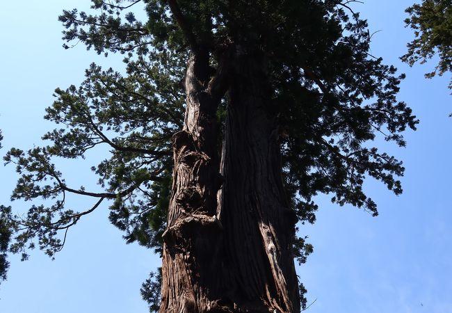 天神社の大杉