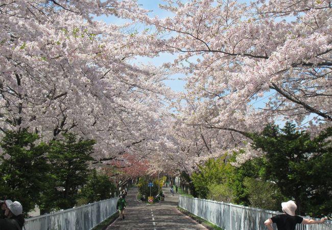 桜は、環状通りと交差する環状夢の橋辺りが特にきれい