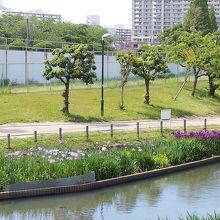 白鷺公園 ハナショウブ園