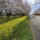 大潟村桜 菜の花ロード