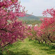 花がいっぱい福島。ここは桃