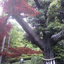 庭の大木です。