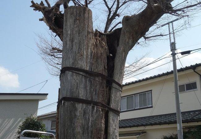 八幡神社大欅