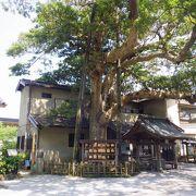 境内には樹齢400年近い御神木のタブノキが立っていました