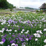 紫・白。黄色の菖蒲を楽しめます。水連も4色咲いていました。2羽の仲良し鴨もいました。