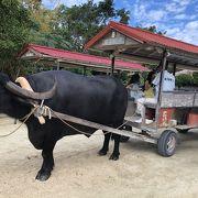 竹富島言えば水牛