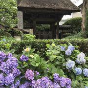 しつとり雨の紫陽花、極楽寺