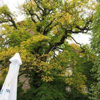 カスターニアン(とちの木)の大木