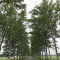 広大な十勝牧場にある白樺並木