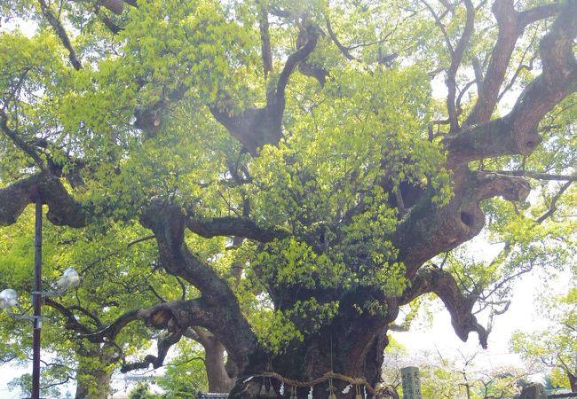 巨木ある宇美八幡宮